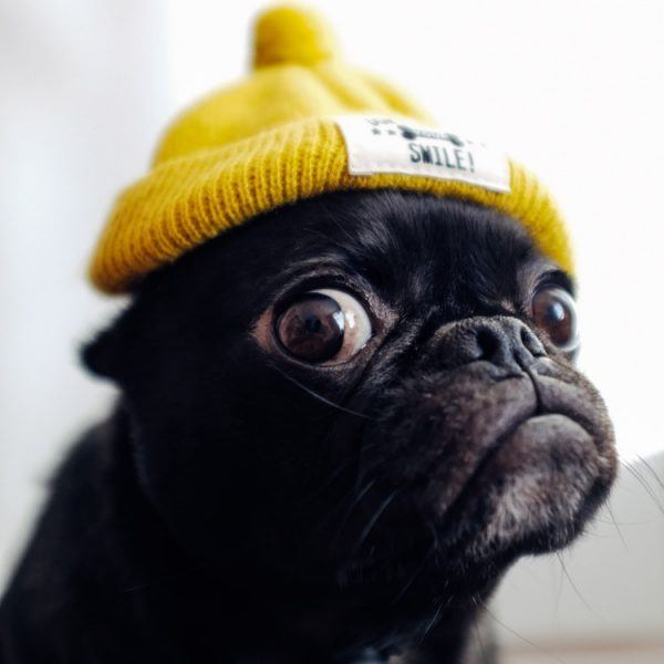 hoole sad dog pug image1